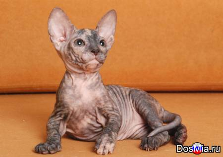 Предлагаем котят донского сфинкса