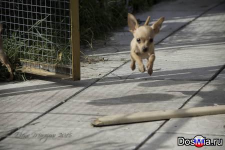 Тойтерьер мини щенки