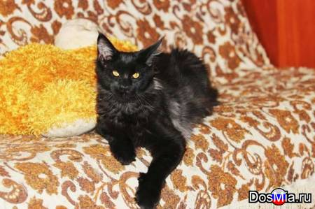 Предлагаю котят породы мейн-кун