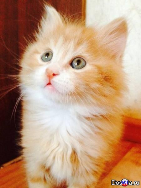 Продаются короткохвостые котята-рысята