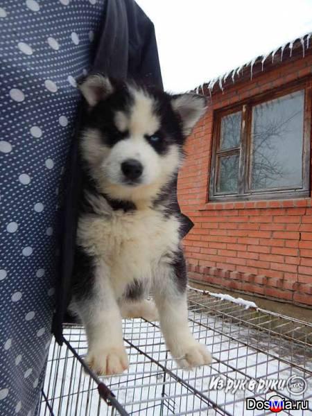 Продам щенков породы Сибирский хаски