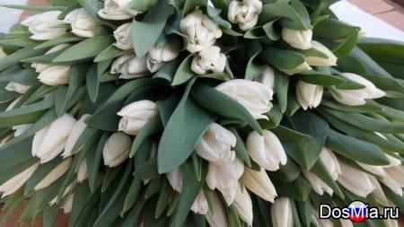 Тюльпаны из голландской луковицы оптом к 8 марта