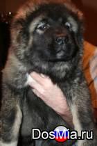 Продаём щенков Кавказской овчарки
