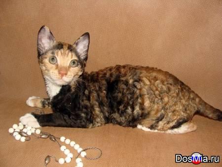 Котёнок уральский рекс из питомника