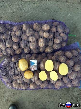Картофель Гала, продовольственный и семенной.