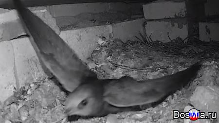 Гнездо стрижей,голубей онлайн камера - Nest of swifts,pigeons online camera