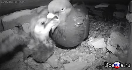 Голубь кормит птенца - The pigeon feeds the chick