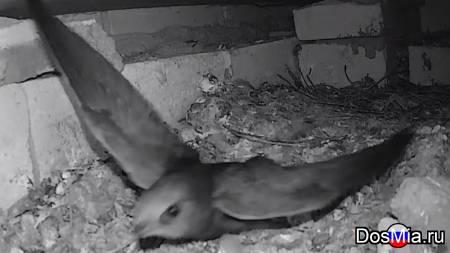 Гнездо стрижей онлайн камера - Nest of swifts online camera