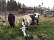 Продается чистопородная корова